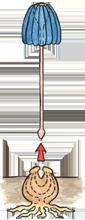 Ploppknollenblume